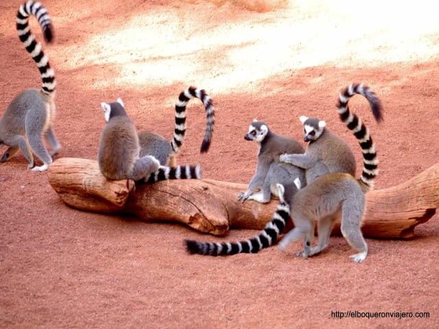 Lemures en Bioparc Fuengirola