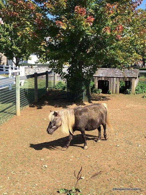 Pequeño caballo en una granja Amish