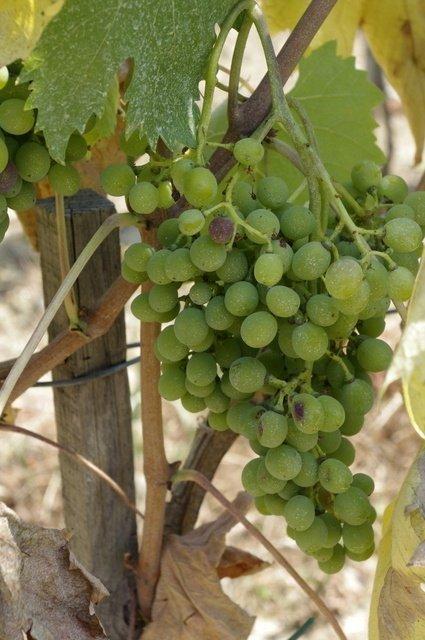 Uvas en Il Palagio