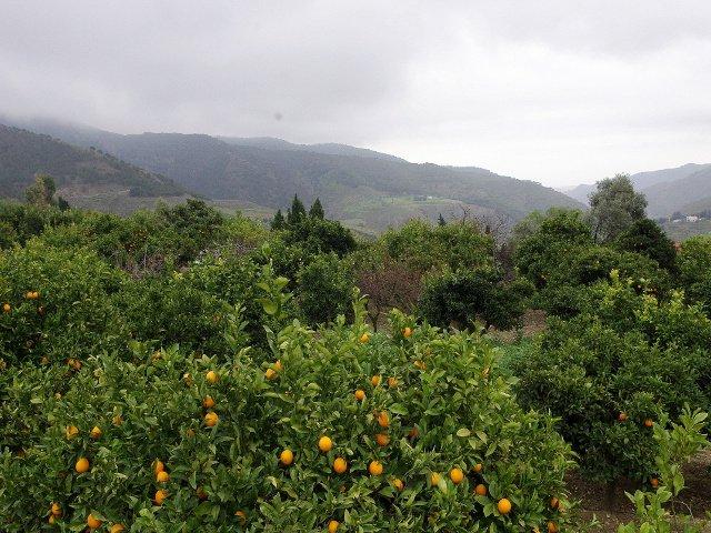 Los naranjos con los montes detrás en Carratraca, Málaga