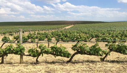 01-Vinas-en-La-Rioja-Alavesa-con-Thabuca-Wine-Tours