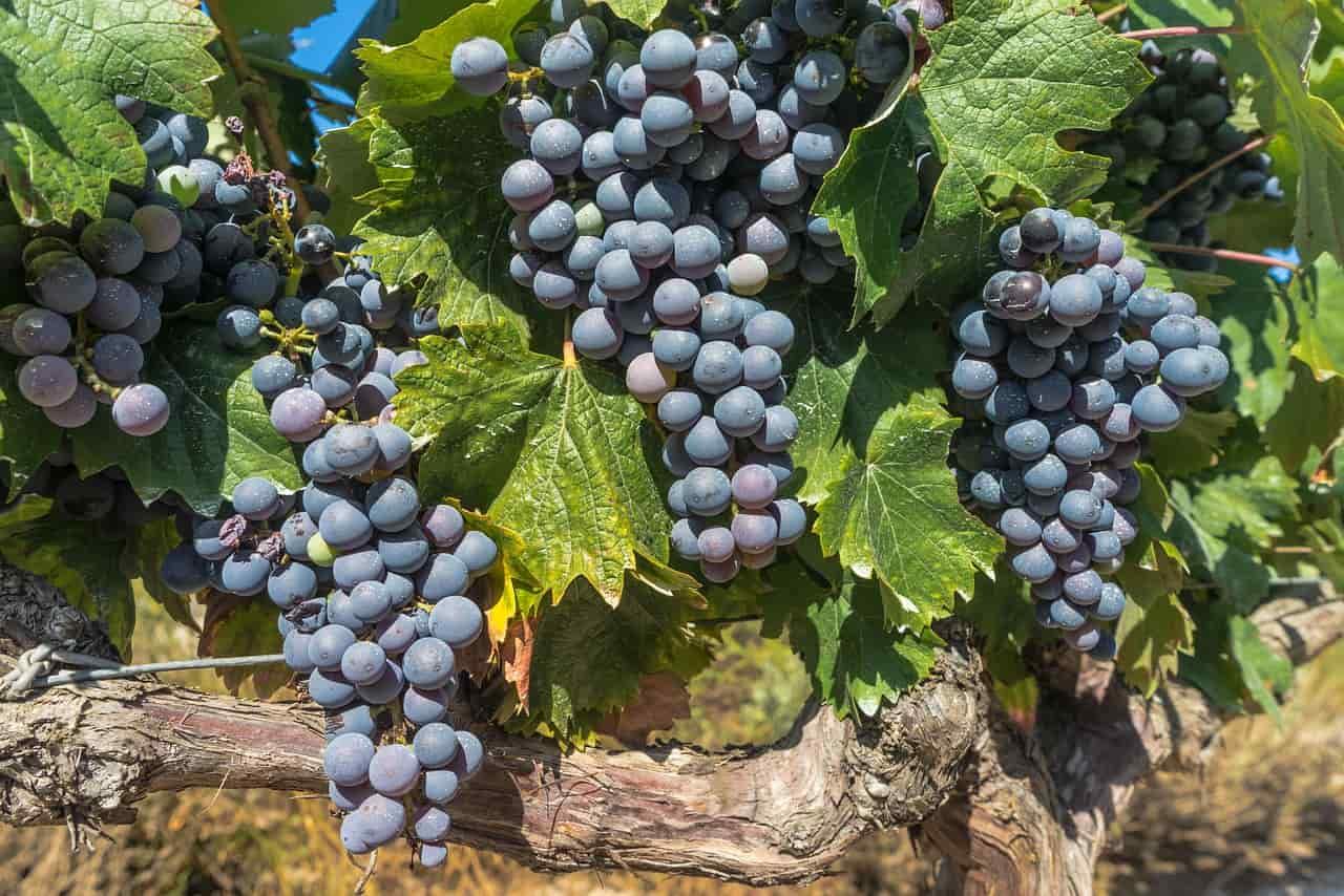 Uvas en los viñedos de La Rioja